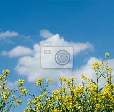 tło żółte kwiaty i błękitne niebo