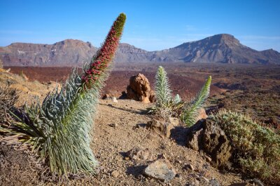 Tower of jewels (Echium wildpretii) plant, endemic species to the island of Tenerife in Teide National Park, Spain.