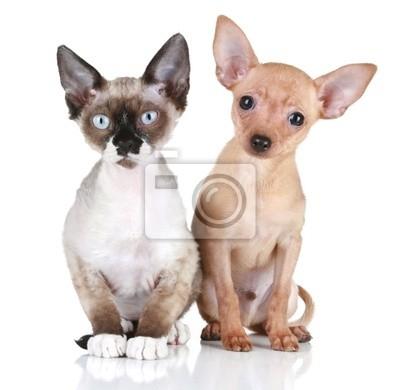 Obraz Toy Terrier Puppy I Devon Rex Kot Na Białym Tle Na Wymiar
