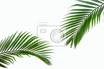 Obraz tropical coconut leaf isolated on white background, summer background