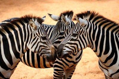 Obraz Trzy Zebry Kissing