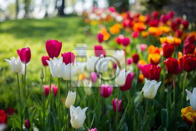 Obraz tulip