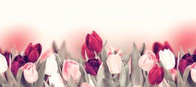 Obraz Tulip colorful flower panoramic border on white