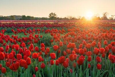 Obraz Tulip in farm sunrise