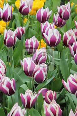 Obraz tulipan