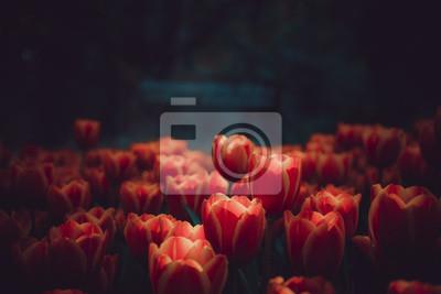 Obraz tulipan kwiaty na tle bokeh, (kształt i miękki focut)