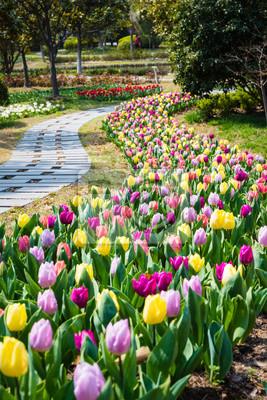 Obraz tulipan polu wiosną