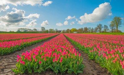 Obraz Tulipany w polu na wiosnę