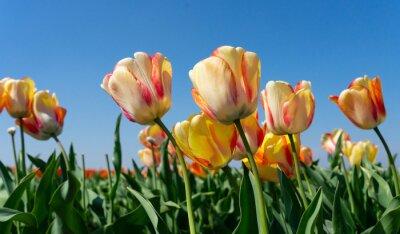 Obraz Tulips field of the Netherlands