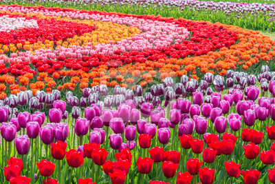 Obraz Tulips in a field garden arranged in a pattern of concentric circles of varying colors. Shallow depth of field.