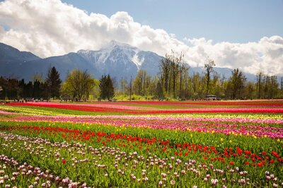 Obraz Tulips in Canada, colorful with Mt Cheam in the background
