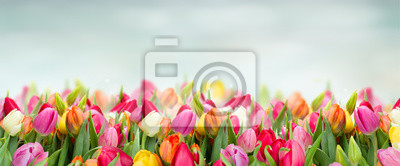 Obraz tulips in garden on blue sky background wide banner with copy space