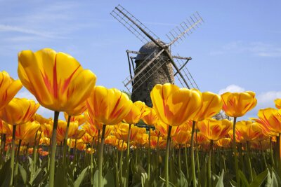Obraz Tulpen w Holandii mit Windmühle