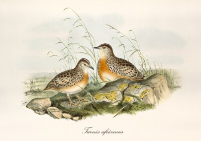 Obraz Two button quails outdoor on a rocky ground with grass. Vintage hand colored style illustration of Common Buttonquail (Turnix sylvaticus). By John Gould publ. In London 1862 - 1873