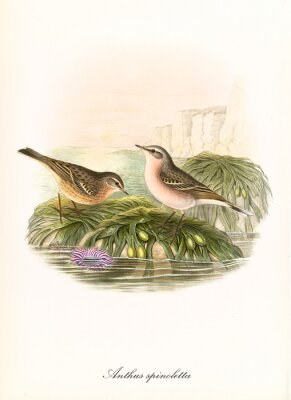 Obraz Two little cute birds on two sea rocks covered by vegetation. Hand colored old illustration of Water Pipit (Anthus spinoletta). Detailed graphic composition by John Gould publ. In London 1862 - 1873