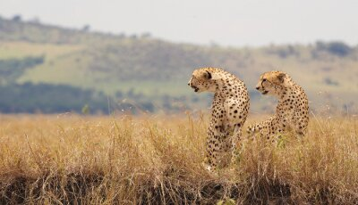 Obraz Two Wild cheetahs in Kenya