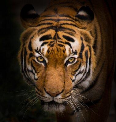 Obraz Tygrys sumatrzański makro.