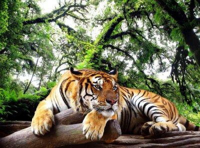 Obraz Tygrys szuka coś na skale w lesie tropikalnym wiecznie