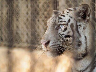 Obraz Tygrys w klatce
