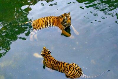 Obraz Tygrysy w wodzie
