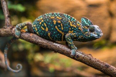 Obraz Ukrytych kameleona jaszczurka
