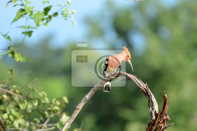 Upupa epops w Parku Narodowym Uda Walawe, Sri Lanka. Azja.