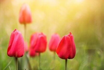Obraz urocze czerwone tulipany na zachodzie słońca
