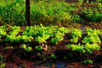 Obraz Vegetable garden irrigation - Farm of lettuce and beetroot in brazil