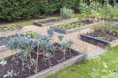 Obraz Vegetable garden raised beds made from timber sleepers. Kale (brassica) is  growing in the foreground, UK