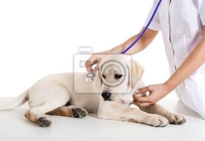 Obraz Veterinay dbanie o psa