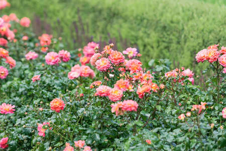 Obraz View of orange and pink spray roses that grow in a solid wall