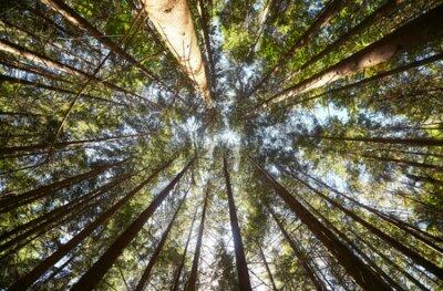 Obraz View of pine forest upward