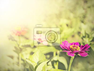 Vintage Cynia kwiat, natura tła.