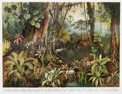 Obraz Vintage drawing of tropical forest plants from the beginning of 20th century period - Picture from Meyers Lexicon books collection (written in German language) published in 1908, Germany.