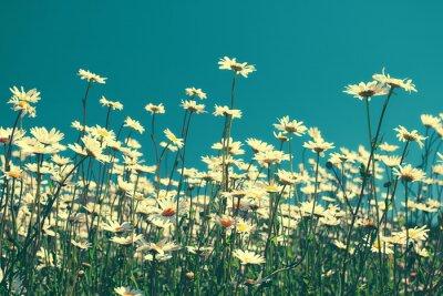 Obraz Vintage kwiatów rumianku na błękitne niebo