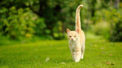 Obraz Wdzięczne Kot Walking na zielonej trawie (16:9)