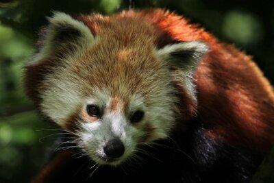 Obraz Western Red Panda (Ailurus fulgens fulgens).