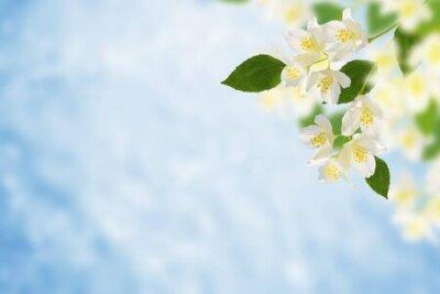Obraz White jasmine. The branch delicate spring flowers. nature