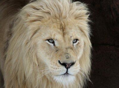 Obraz White Lion Look (Panterha leo krugeri)