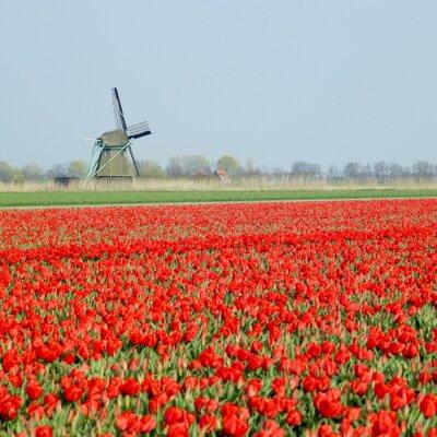 Obraz Wiatrak z pola tulipanów niedaleko Ooster Egalementsloot kanału, Neth