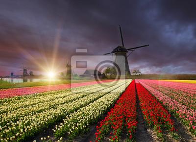 Obraz Wiatrak z pola tulipanów w Holandii