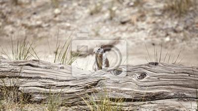Wiewiórka w Yosemite parku narodowym, Kalifornia, usa.