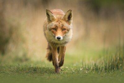Obraz Wild red fox
