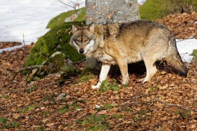 Obraz Wilk (Canis lupus)