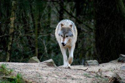 Obraz Wilk spaceru w lesie w poszukiwaniu jedzenia.