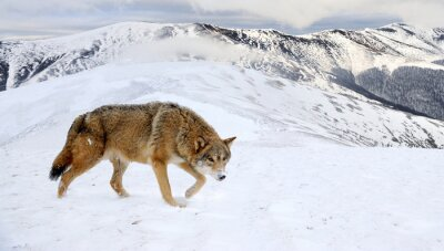 Obraz Wilk w górach