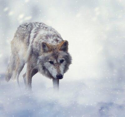 Obraz Wilk w zimowy czas