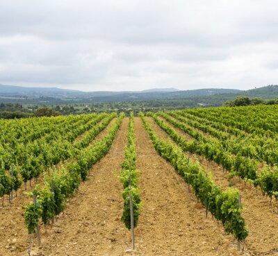 Obraz Winnica w Langwedocji-Roussillon (France)