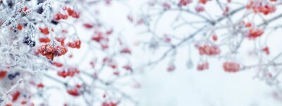Obraz Winter Christmas background with red berries of viburnum on a light background during a snowfall, panorama
