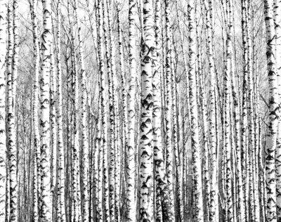 Obraz Wiosenne pni drzew brzozy czerni i bieli
